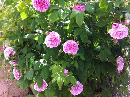 Heavily-scented-roses